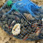 収穫された貝類