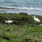チュウサギとクロサギ(白色型)