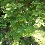 オオシマコバンノキ(トウダイグサ科)