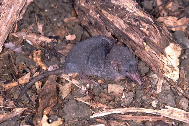 ジャコウネズミの画像 p1_1