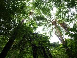 ヒカゲヘゴ林
