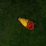 マツアカアオヒメハマキ