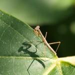 ムナビロカマキリ幼体