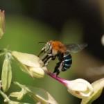 アオスジコシブトハナバチ