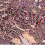 イワサキベニモンヘビ