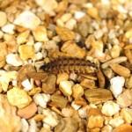クメジマボタル(幼虫)