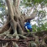 日本一の樫ノ木