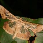 昆虫類-沖縄の蛾(ガ)